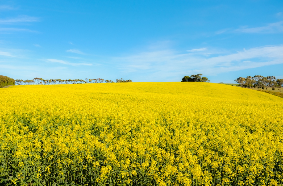 The Bellarine: Barwon Heads and Finding Canola Fields